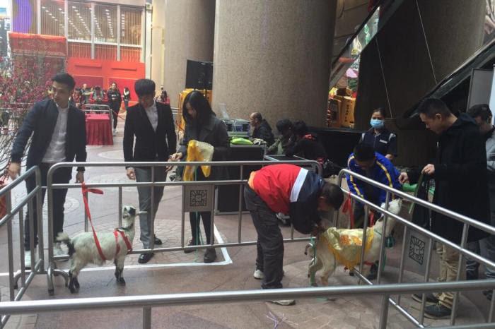 工作人員為宣傳新年為羊年,替兩隻小羊穿起黃色衣服。