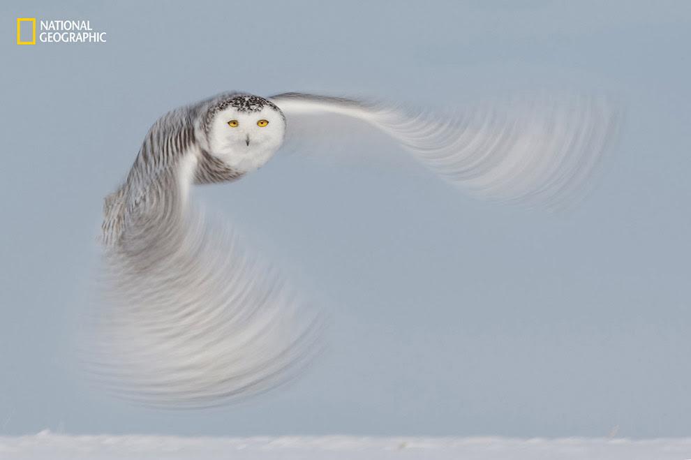 Дух тундри: полярна сова
