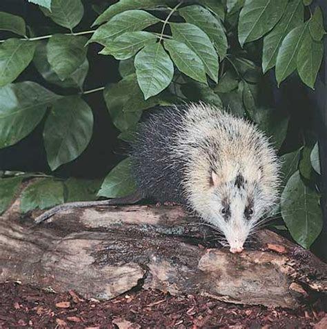 Moonrat   mammal   Britannica.com