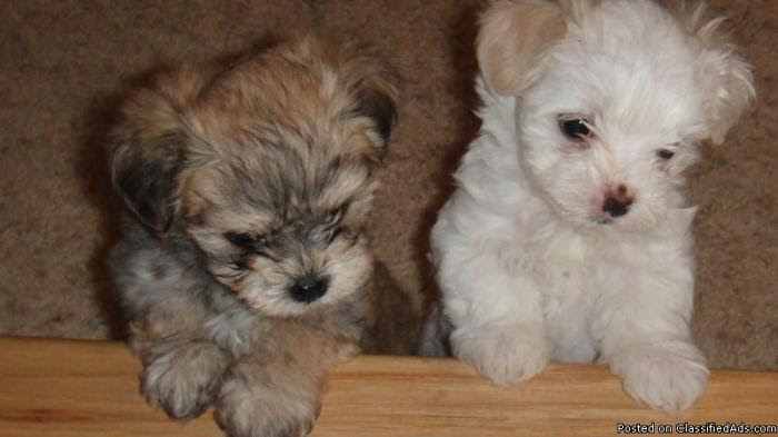 Buy Morkie Puppies For Sale Wisconsin USA