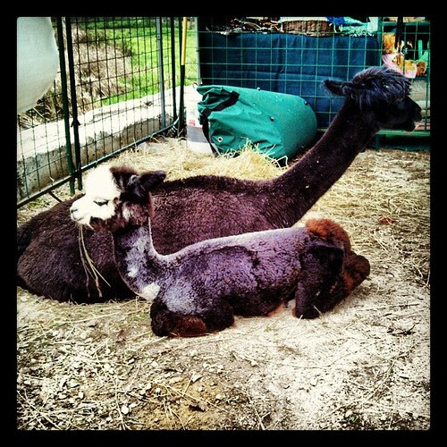 Another shot of Mamma & Baby #newhampshire #Alpaca