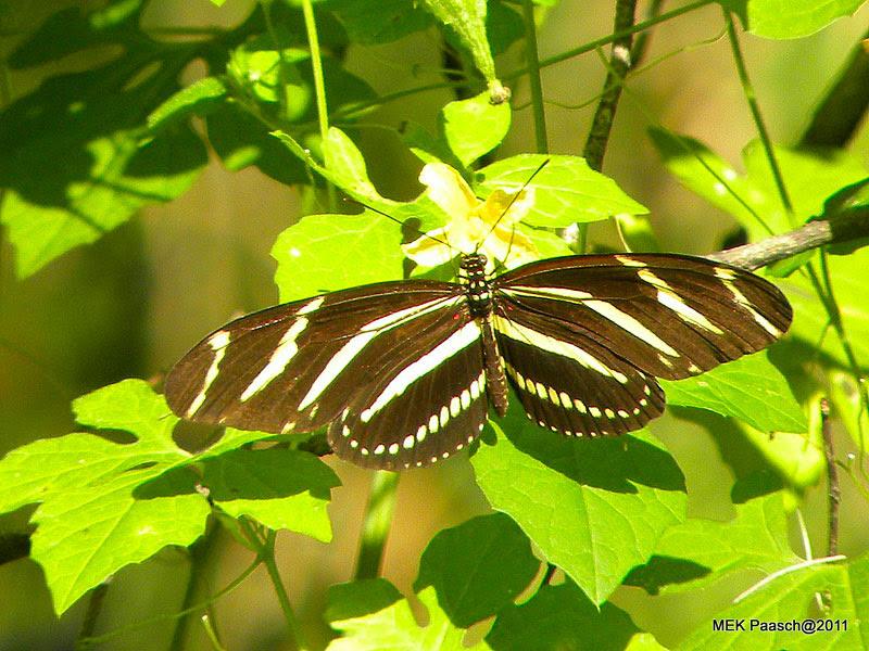 Zebra-wing Butterfly
