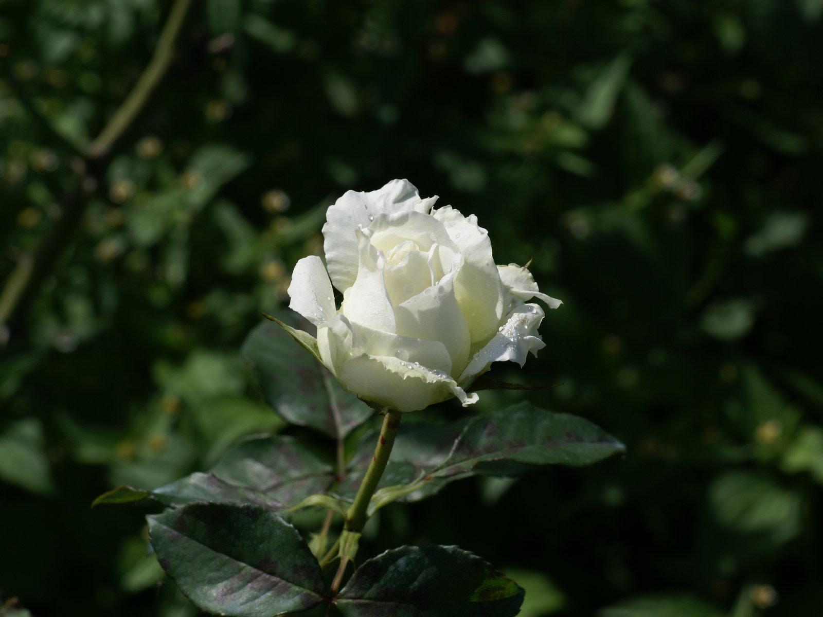 Rosas Hermosas Fotos Rosas Mas Bellas Fondos De Pantalla Rosas
