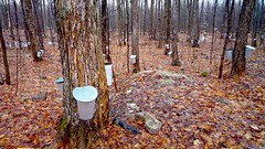 maple spring