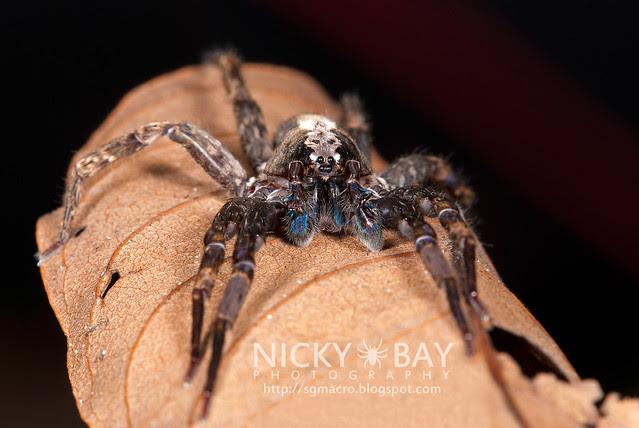Wandering Spider (Ctenidae) - DSC_9302
