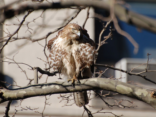 MoHi Juvie Red-Tail