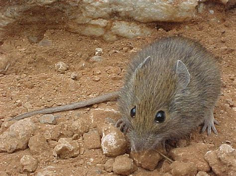 Desert Mouse (Pseudomys desertor) caught during fauna survey at the Ochre Pits, West MacDonnell