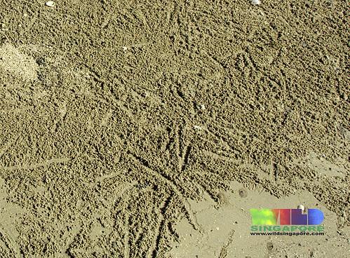 Sand bubbler crab (Scopimera sp.)