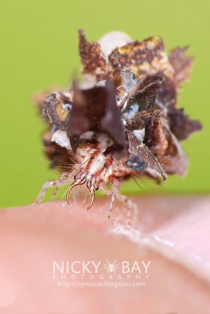 Lacewing larva (Chrysopidae) - DSC_1234