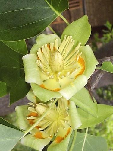 TulipTree1