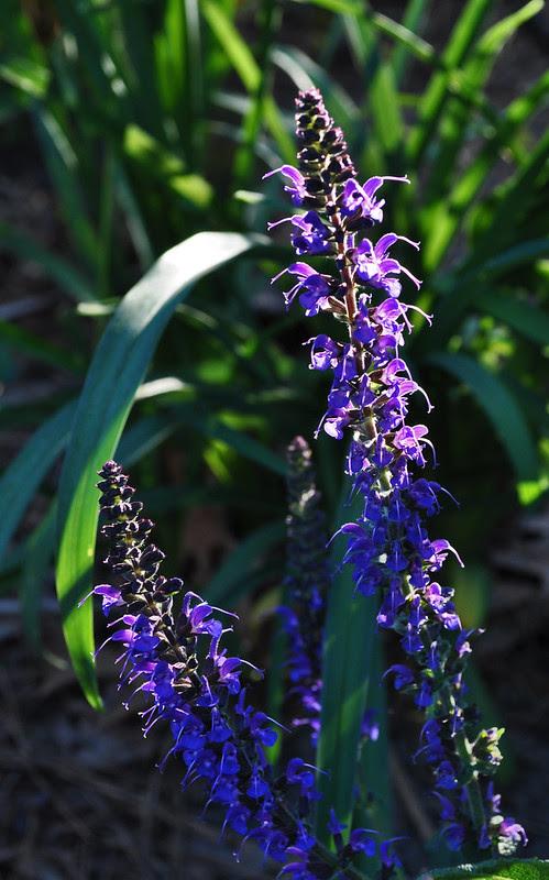 Salvia x sylvestris 'May Night'