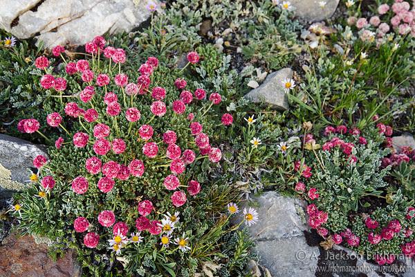 Holmgrem's buckwheat (Eriogonum holmgrenii), endemic to Nevada's Snake Range