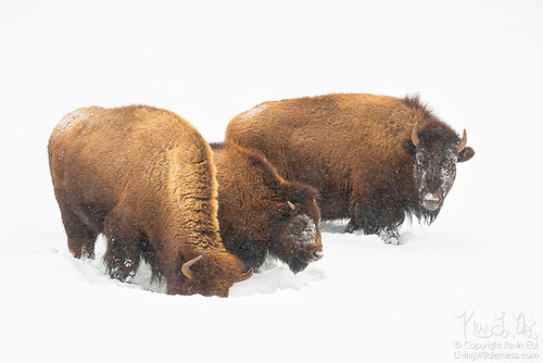 Three Bison in Snow, Yellowstone National Park, Wyoming