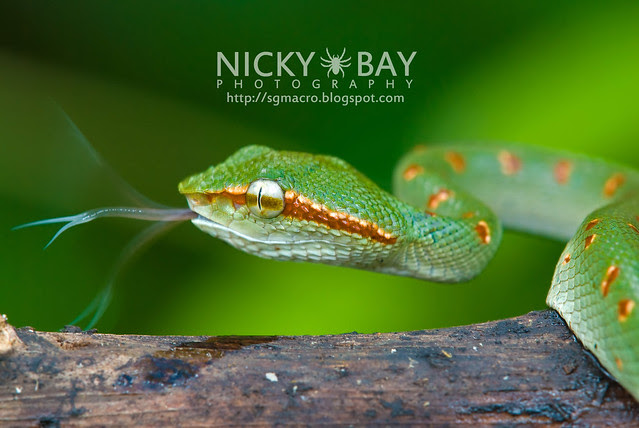 Wagler's Pit Viper (Tropidolaemus wagleri) - DSC_8833