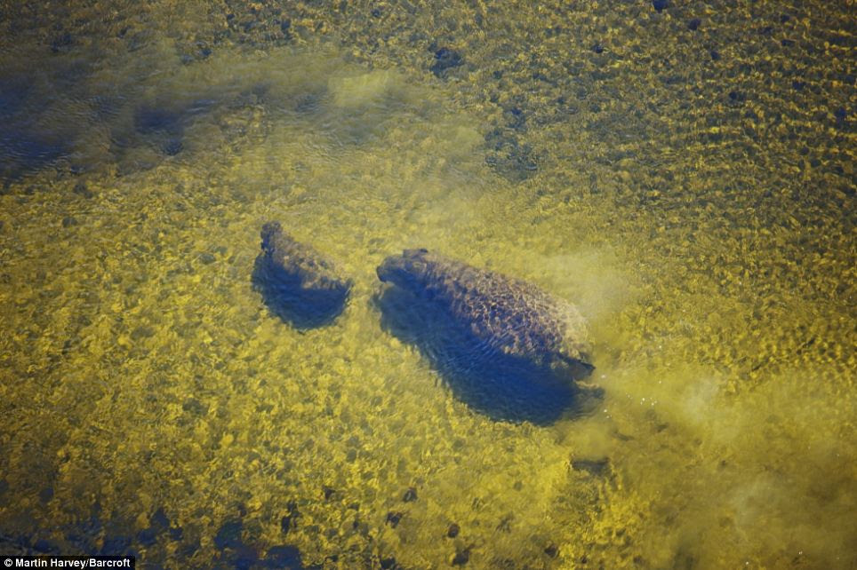 Mother and child: An baby hippo and its mother can be glimpsed below the surface of the water in this photograph taken in Botswana