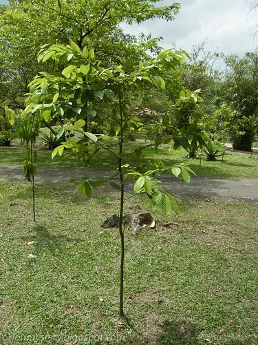 Host plant Shorea sp.. R0017647 copy