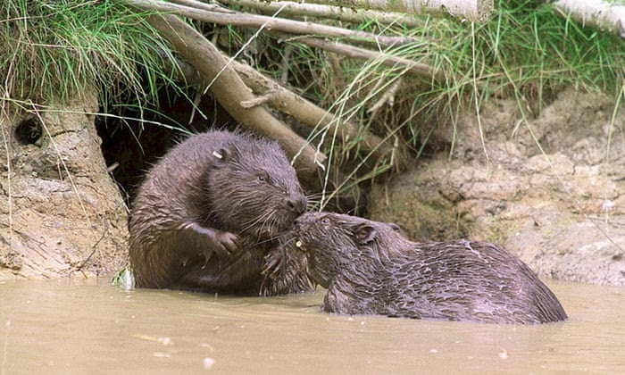 Undated Kent Wildlife handout photo of beavers in Kent as the beavers which vanished from the UK's shores hundreds of years ago, could be making a comeback across Britain, January 2, 2015. Wildlife groups back the return of the aquatic mammals, which manage the landscape by cutting down trees and damning rivers, for the benefit they can provide in preventing flooding, maintaining water quality and boosting other wildlife. But farmers and anglers have raised concerns that they can damage the landscape and fish migration routes, and conservation efforts should be focused on the UK's existing wildlife. Despite the concerns it appears that the beaver, which was hunted to extinction by the 16th century, could once again become a permanent feature of waterways in England, Scotland and Wales, as they have across Europe.