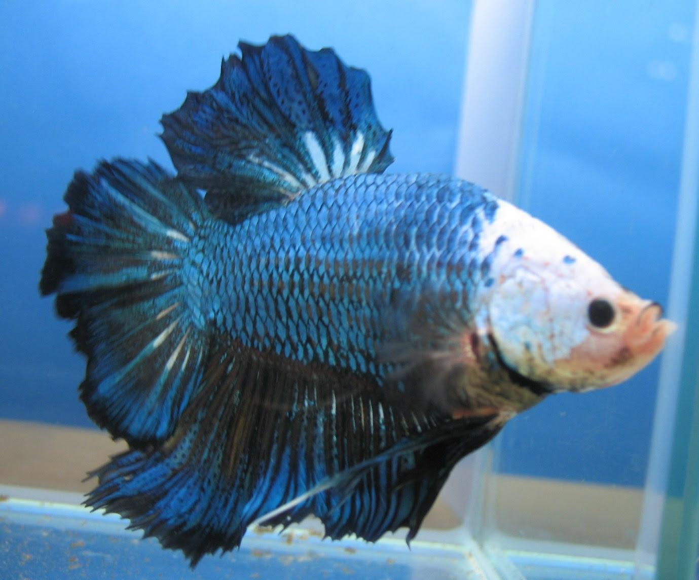 Peluang Usaha Budidaya Ikan Cupang Giant Dan Analisa Usahanya Agrowindo