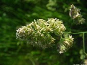 Meadow-grass, 7
