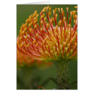 Pincushion Protea card