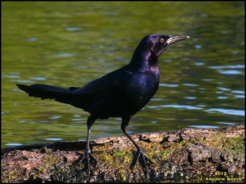 Drew's Birds: Boat-tailed Grackle  Drew's Bird...