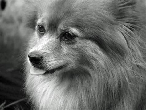 Bulldog Pomeranian Mix Cake Ideas and Designs