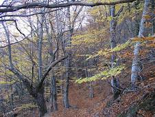 Bosc de Castanyers