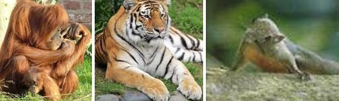 Orang Utan - Harimau - Tupai