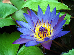 240px-Water_Lily_Purple.jpg (240×180)