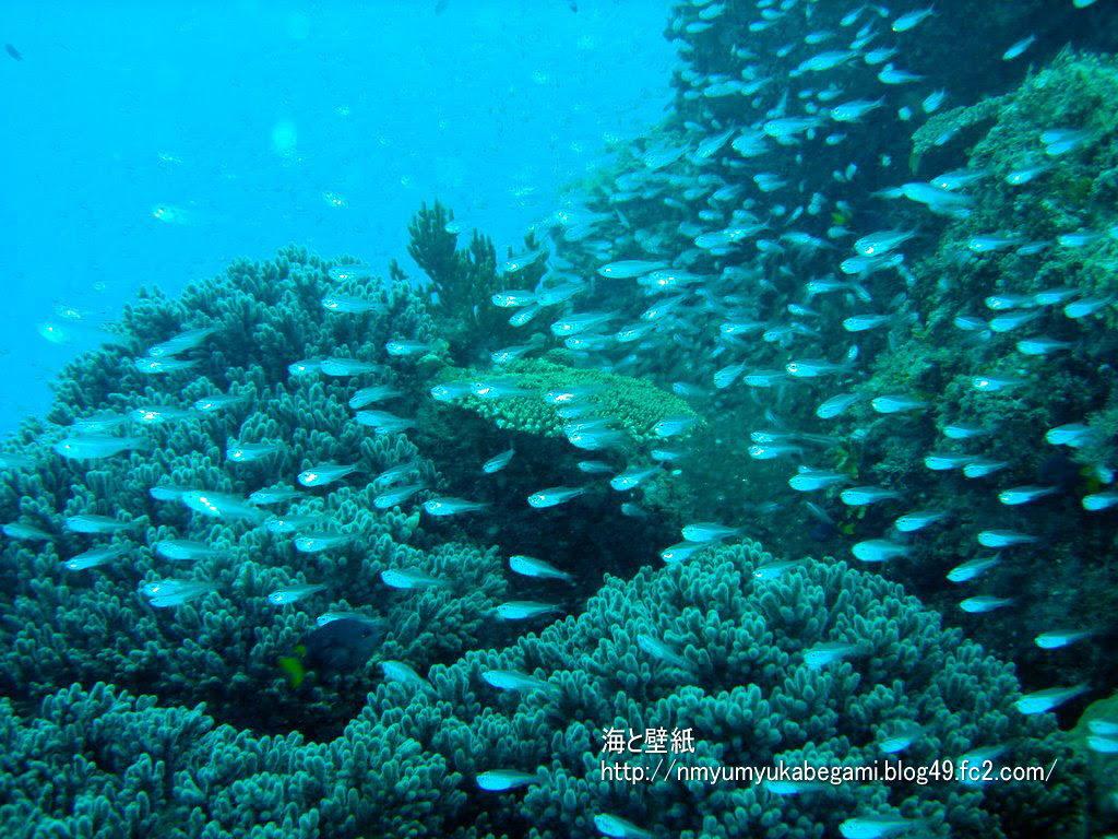 宮古島の壁紙8 珊瑚と小魚