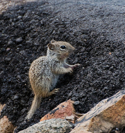 Juvenile Rock Squirrel