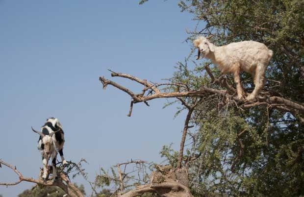 Cabras sobem em árvores para comer frutos em Marrocos em foto tirada neste domingo (26) (Foto: AFP)