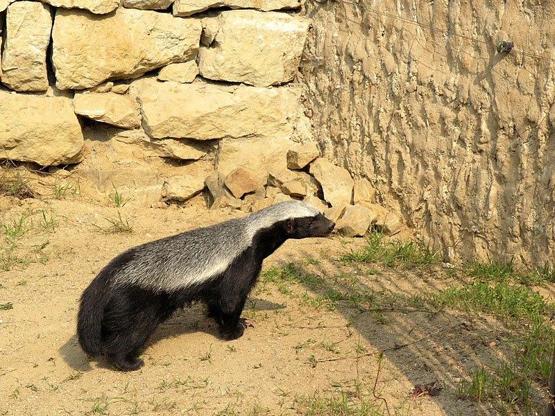 File:Prague ZOO - Mellivora capensis 2.jpg