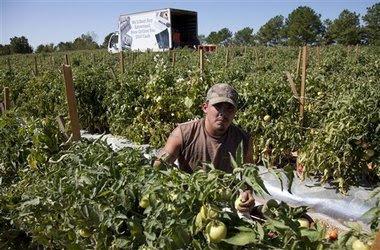 alabama crops unpicked.jpg