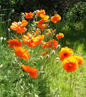 Poppies in flower