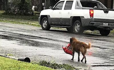USA: Resourceful Dog Walks Away With Bag Of Dog Food After Hurricane Harvey