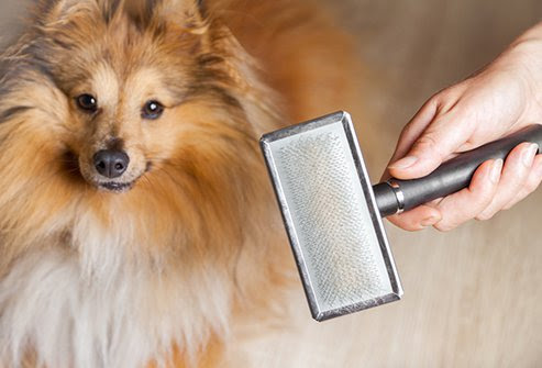 Pet allergies are not impacted by the hair length or the amount your pet sheds.