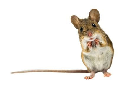 Best Ways to Get Rid of Mice (Fast): The Ultimate Guide 2017   PestWiki