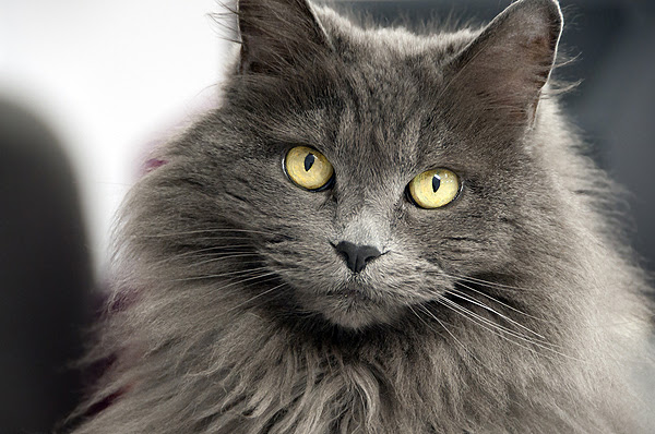 Srt Hair or Long Hair? Which Cat Breeds Do You Prefer? - Catster
