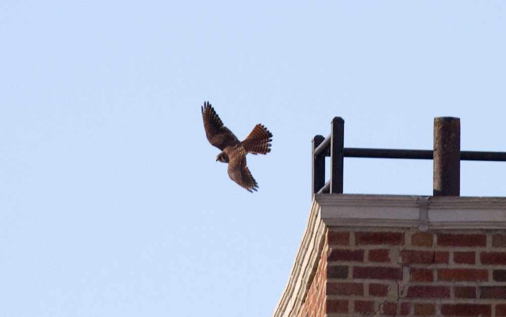 Kestrel Hunting