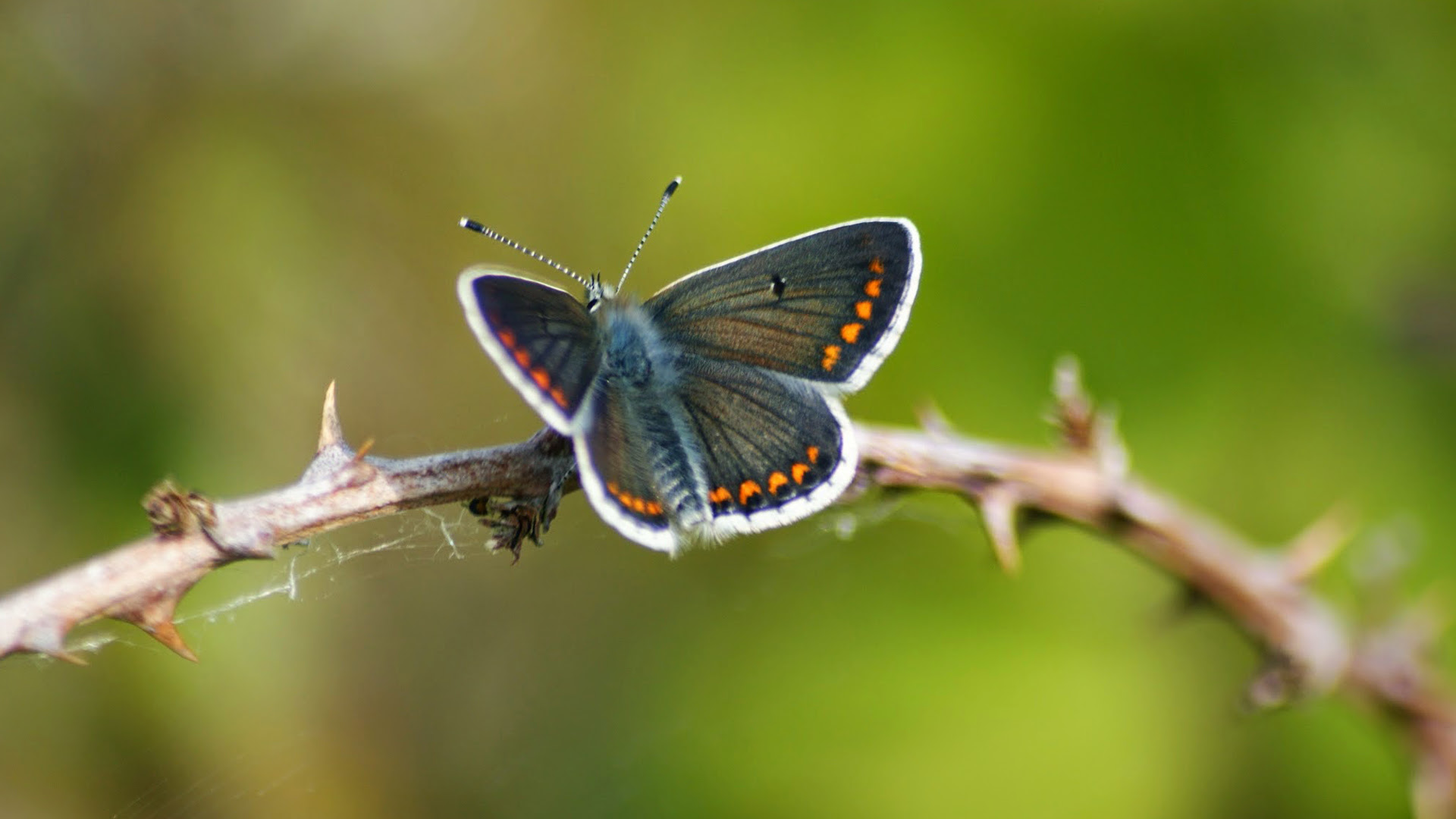 Brown Argus Butterfly in Nature for Wallpaper - HD ...