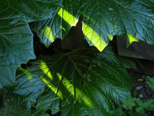Back Lit Leaves _ 8593