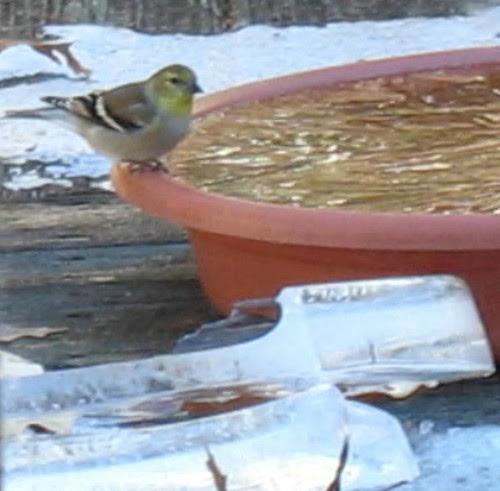 PHdrinkgoldfinch