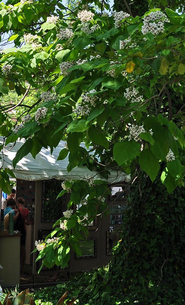 Stockley Gardens Catalpa Tree 3