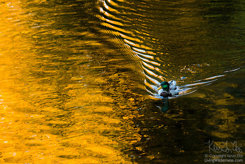 Mallard Duck on Sammamish River, Autumn, Bothell, Washington