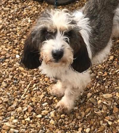 Maddie – 6 year old Female Basset Griffon Vendeen (Petite)