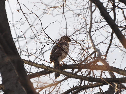 Cathedral Cooper's Hawk
