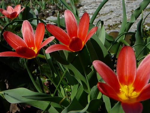 Tulpen (02)