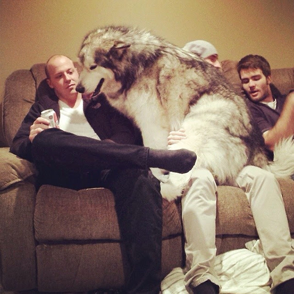 tilestwra.com | 25 σκυλιά που δεν μπορούν να καταλάβουν πόσο μεγάλα είναι.