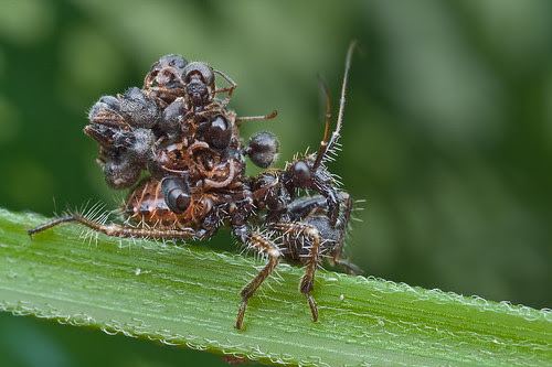 Assassin bug nymph with ant prey and ant carcasses on its back...IMG_9228 copy